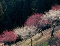 光る紅梅と白梅 梅の公園