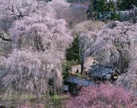 しだれ桜咲く清雲寺