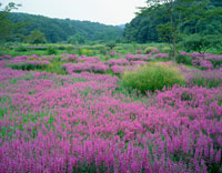 ミソハギ咲く花之江の郷