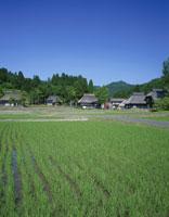 稲田と茅葺きの民家