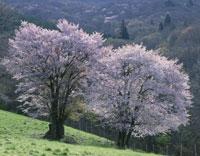 山桜咲く西蔵王牧場