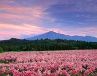 ユリ咲く鳥海高原と鳥海山 夕景