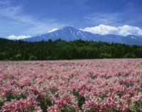 ユリ咲く鳥海高原と鳥海山
