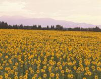 ヒマワリ畑の夕景