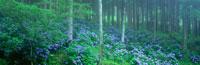 アジサイと杉林 みちのくあじさい園