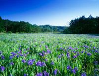 カキツバタ咲く八幡湿原