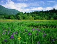 カキツバタ咲く親海湿原