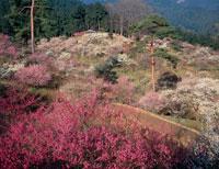 梅の公園 朝景