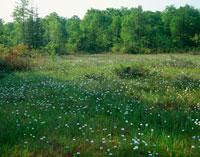 ワタスゲ咲く駒止湿原