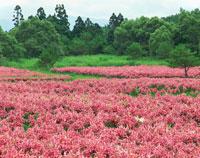 ユリの花咲く鳥海高原