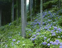 アジサイと杉 21世紀の森公園