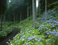 アジサイ咲く杉林と道 21世紀の森公園