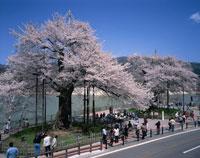 荘川桜と御母衣湖