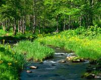 初夏の桧原川と木立とサワオグルマ咲く磐梯高原