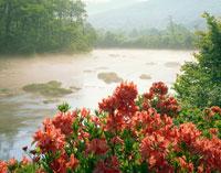 ツツジ咲く朝霧の川 田代平
