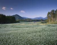 ソバの花咲く開田高原