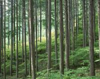 新緑の檜林