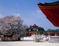 左近の桜と社殿 平安神宮