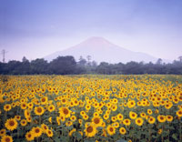 花の都公園からのヒマワリ畑と富士山