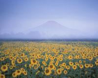 ヒマワリ畑と富士山 花の都公園