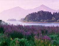ミソハギと檜原湖と磐梯山朝景