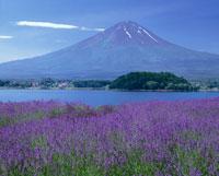 ラベンダーと河口湖と富士山