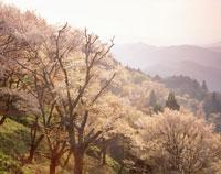 桜の吉野山夕景