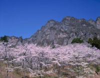 桜と妙義山4月   群馬県