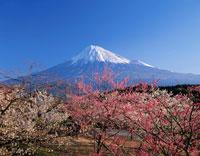 梅林と富士山富士市岩本山公園