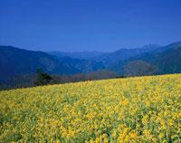 菜の花畑と山並み 翠波高原4月