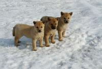 北海道犬の仔犬3匹