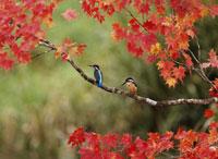 カワセミ2羽と紅葉