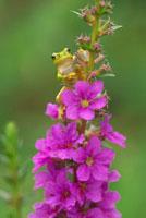 花につかまるカエル