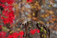 紅葉とヤマガラ