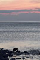 夕陽とヒグマ