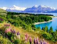 ルピナスとマウントクック プカキ湖畔 25235000251| 写真素材・ストックフォト・画像・イラスト素材|アマナイメージズ