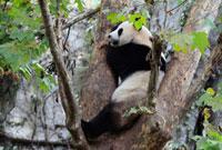 パンダの木登り