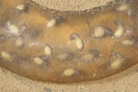 トウキョウサンショウウオの卵のう内の幼生