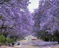 ジャカランダの並木道