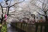 桜咲く目黒川