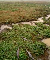 パンタナル湿原のワニ