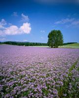 エリカの花畑