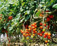 ミニトマトのハウス栽培