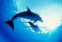 光に向かって泳ぐマダライルカ