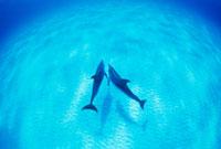 仲良く泳ぐマダライルカ