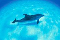 海底を泳ぐマダライルカ