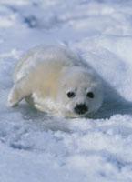 タテゴトアザラシの赤ちゃん セントローレンス湾 25356000379| 写真素材・ストックフォト・画像・イラスト素材|アマナイメージズ