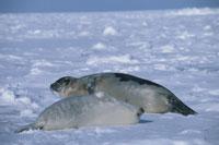 タテゴトアザラシの母子 セントローレンス湾