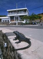 町の中歩く海イグアナサンタクルス島