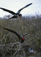 巣を取り合うオオグンカンドリ